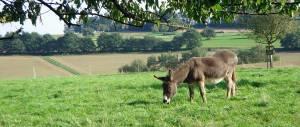 Unsere alte Eselin Kea, sichelrich schon weit über 30 Jahre alt...