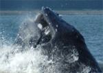 Ein Buckelwal auf Heringsjagd Bildquelle: [B]